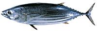 тунец полосатый_VIGOR Consult